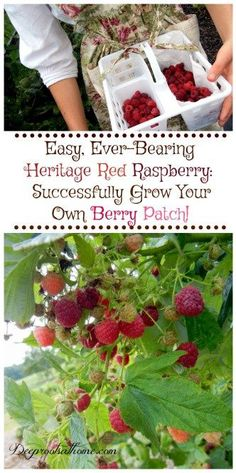 Easy Ever-Bearing Heritage Raspberry: Successfully Grow Your Own Berry Patch