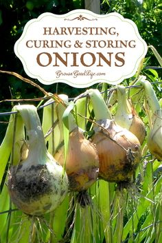 Learn how to harvest cure and store onions so they last through the winter until the next growing season. Storing onions work wonderfully for winter soups bone broths chili stews and roasts. Veg Garden, Edible Garden, Garden Plants, Vegetable Gardening, Organic Gardening, Apple Garden, Urban Gardening, Shade Garden, Homestead Gardens