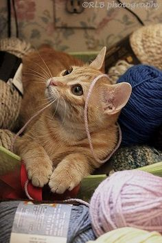 Orange tabby cat in yarn Kittens Cutest, Cats And Kittens, Cute Cats, Gatos Cats, Orange Tabby Cats, Curious Cat, Ginger Cats, Domestic Cat, Cute Animal Pictures