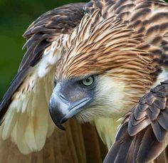 A tattoo of this Philippine Eagle would be perfect Beautiful Birds, Animals Beautiful, Philippine Eagle, Animals And Pets, Cute Animals, Especie Animal, Bird Pictures, Indian Paintings, Birds Of Prey