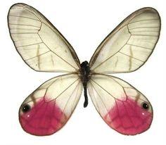 "Framed Pink Glasswing Butterfly Riker Mount (4"" x 3"") Butterfly Utopia http://www.amazon.com/dp/B0093NZYG0/ref=cm_sw_r_pi_dp_ZbOlub0VARC3X"