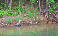 Great Blue Heron at Lake Allatoona  For more, visit GreenGlobalTravel.com!