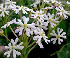 "Zaluzianskya capensis ""Night Phlox"" AKA ""Midnight Candy"" smells like sweet cake right from the oven"