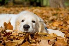 Image result for dogs in fall leaves