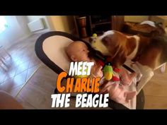 Our Dog is More Than a Pet, He is the Nanny : Charlie the Beagle Trailer