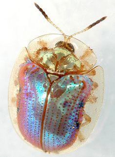 Beet Tortoise Beetle