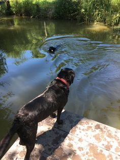 As a Labrador, it's in my blood to LOVE swimming. I can sniff out water at 100 paces and if my human isn't ...