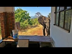 Injured Elephant Limps Seeking Out People Who Can Help Him After Being S...