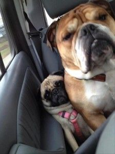 funny dogs in back seat of car