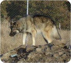 Wolf dog / hybrid...so gorgeous