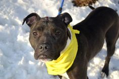 TO BE DESTROYED FRI, 3/7/14- Staten Island Center    GAIA - A0991816   I am an unaltered female, black and white Staffordshire Bull Terrier mix.   The shelter staff think I am about 6 months old.   I was found in NY 10301.   I have been at the shelter since Feb 17, 2014