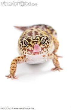 leopard_gecko_eublepharis_macularius_sticking_out_its_tongue_1882932.jpg (432×670)