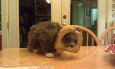 inbred cat...