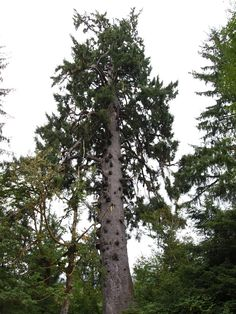 The 'Queets Spruce' is the largest in the world Sitka spruce (Picea sitchensis) with a trunk volume of 337 m3 (11,900 cu ft) it is 75.6 m (248 ft) tall and 455 cm (15 ft) in dbh. It is located near the Queets River in Olympic National Park, about 26 kilometres (16 mi) from the Pacific Ocean. > http://en.wikipedia.org/wiki/Picea_sitchensis