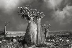 """asylum-art: """" Ancient Trees: by Beth Moon Woman Spends 14 Years Photographing World's Oldest Trees: Beth Moon, Based in San Francisco, photographer Beth Moon has been travelling for 14 years all. Socotra, San Francisco, Bottle Trees, Tree Woman, Moon Photography, Photography Magazine, Old Trees, Tree Forest, Desert Rose"""