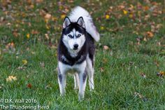 Enough suspense. Introducing Landon, the newest member of The Herd. #dog #siberianhusky #husky