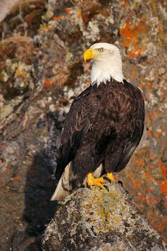 Bald eagle perched by D. Robert Franz on 500px