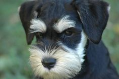 """""""Puppy Face"""" oh my Gosh!!! This is one of the cutest black and silver mini schnauzer puppy I have ever seen, so adorable"""