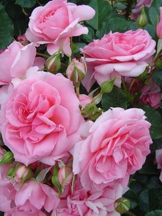 Oderings Garden Centre | Climbing Rose - Mamma Mia.