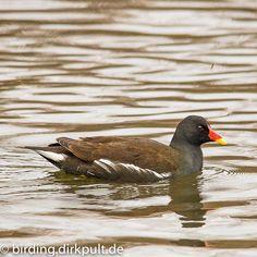 Teichhuhn #birding #