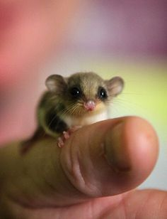 Animal Pictures: 150 Of The Cutest Animals! Is that a huge thumb or a tiny mouse Neither! This little rascal is a feathertail glider.Is that a huge thumb or a tiny mouse Neither! This little rascal is a feathertail glider. Animals And Pets, Funny Animals, Farm Animals, Jungle Animals, Wild Animals, Cute Little Animals, Adorable Animals, Cute Pets, Hamsters