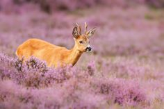 A roe deer in a field of Heather.    <a…