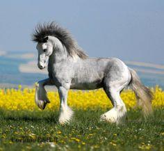Gypsy Vanner Horse One of my favorite breeds.