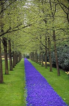 Gorgeous blue carpet of flowers through the trees