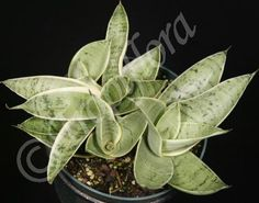 SANSEVIERIA PEARL YOUNG - Google Search