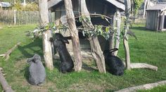 Hoppington Green bunnies taken by a visitor @AnnasWelshZoo 2015
