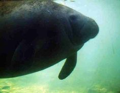 Manatee as seen from underwater observatory at Homosassaff Wildlife Park