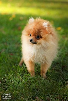 pomeranian..not a little dog admirer but these guys are very appealing
