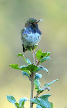 Volcano Hummingbird | Quetzals Paradise, Costa Rica | By: Steve Blain | Flickr - Photo Sharing!