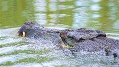 Nile Crocodile Attacks On Humans | Nile Crocodile Attacks On Humans | Crocodile+attack+human