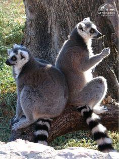 Lemurs Happy Animals, Animals And Pets, Cute Animals, Lemurs, Primates, Panda Bear, Pet Birds, Squirrel, Animal Pictures
