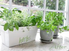 Indoor herb garden - sage, thyme, basil, cilantro, parsley
