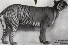 Top 10 Awesome Animals We Let Go Extinct - Javan Tigers  This wouldn't really be much of an extinct species list if we didn't include a tiger in here. It's pretty common knowledge that tigers as a whole are like the poster children for endangered species. But the Javan Tiger, formerly classified as a subspecies of tiger, was determined to be its own species.  Read more: http://www.toptenz.net/top-10-awesome-animals-we-let-go-extinct.php#ixzz2PFncojbj
