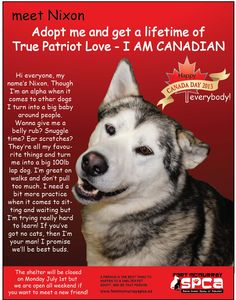Calling ALL #CANADIANS!! This beautiful #Siberian #Husky X is available for #adoption in #Fort #McMurray, #Alberta.  If you wish to #adopt Nixon you MUST submit an adoption application which can be found on their website: http://www.fortmcmurrayspca.ca/  Nixon is a large dog, around 120 lbs. He has a short coat which is white and grey. He has one brown eye and one blue eye. Nixon is around 3 years old, and is neutered.  Email: Info@fortmcmurrayspca.ca  Telephone: 780-743-8997  PLEASE SHARE!