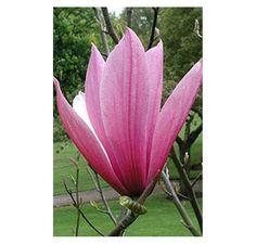 Buy Magnolia liliiflora Nigra (Magnolia) online from Jacksons Nurseries