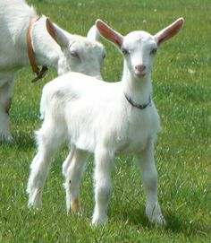 Love Goat, check out this Goat collection, you will enjoy it:) https://etsytshirt.com/goat #goatsareawesome #goatlovers