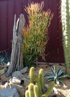 Firestick Euphorbia with saguaro skeleton