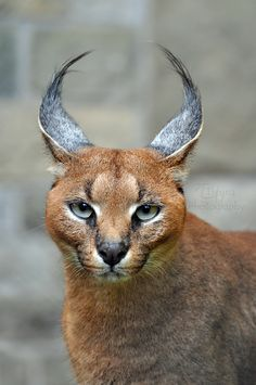 "The caracal, also known as the desert lynx, is a wild cat that is widely distributed across Africa, central Asia and southwest Asia into India. The word caracal is derived from the Turkish words ""kara kulak"", which means ""black ear"". The caracal has been classified variously with Lynx and Felis in the past, but molecular evidence supports a genus more closely related to the African golden cat and serval. // by Tienna"