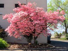 Southern Oregon springtime stunner ... pink Dogwood tree. Rogue Valley. Photo: © Jillian Crider.