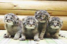 Little kittens - Cute Kittens Videos Cute Little Kittens, Cute Kitten Gif, Kittens Cutest, Cats And Kittens, Cute Cats, Felis Manul, Wild Cat Species, Pallas's Cat, Baby Animals