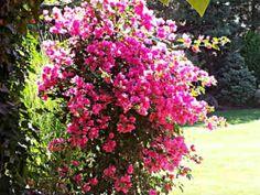 Bogenvilea (Bougainvillea ) – pestovanie a starostlivosť - Vaše rady a tipy - Ako sa to robí.sk Bougainvillea, Vase, Plants, Gardens, Outdoor Gardens, Plant, Vases, Garden, House Gardens