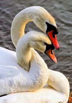 Spring Lovers - Swans mate for life. Gorgeous beautiful swan photo of birds. Pretty Birds, Love Birds, Beautiful Birds, Animals Beautiful, Beautiful Swan, Birds Pics, Beautiful Sunset, Beautiful Life, Simply Beautiful