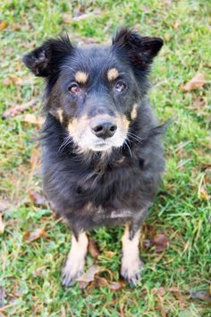 Hello my name is Betty, I'm a 10 year old Shepherd mix. I was brought here from another shelter as a stray and in bad shape. Now I was hoping to find me a forever home that will give me the home I deserve. The staff says that I seem to be house-trained and I seem to do well with other animals. It would be nice if I could find a mellow family to love me. Howell MI