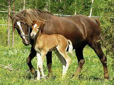 :Finnhorse mare with foal.jpg
