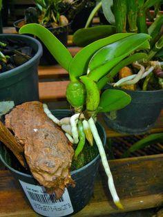 cultivando Orquídeas e idéias: SOBRE AS RAIZES DAS ORQUIDEAS- O SEGREDO DA SAUDE DAS PLANTAS!