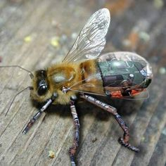 cyborgs: Not just human, in fact, not primarily human.  How about that for an introduced species? Will we need transbees to replace our rapidly dying bee colonies?